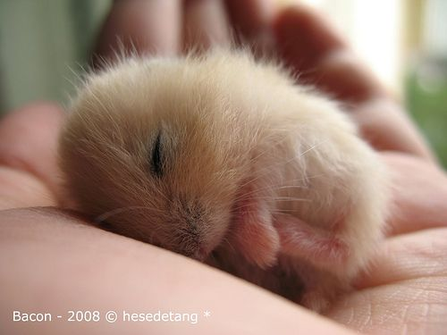 Daytime snooze-Bacon: the cutest frickin hamster ever