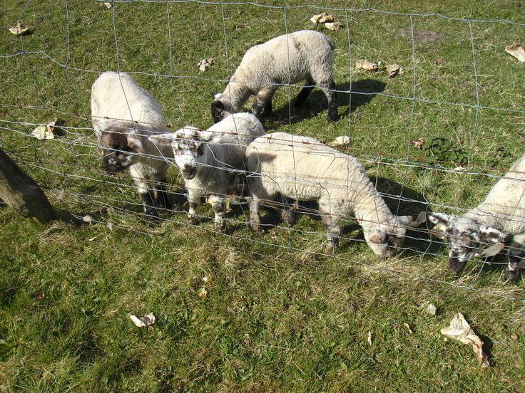 Es gibt mehr Schafe als Einwohner