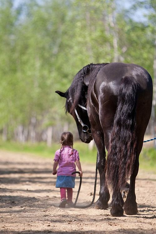Tiny little girl casually handles huge Friesian horse. ❤