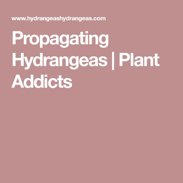 Propagating Hydrangeas | Plant Addicts
