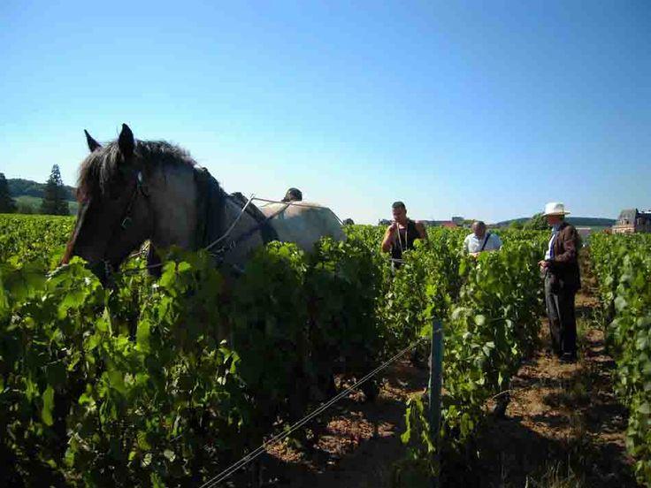 Exigeants, passionnés, idéalistes, les viticulteurs adeptes de la biodynamie, méritent qu'on s'intéresse à leur travail et à leurs produits. Dans les vendanges record annoncées pour 2014 (47 millions d'hectolitres de vin attendus, contre 42,3 en 2013), la biodynamie ne représente qu'une infime part. Demeter et Biodyvin, les deux signes de qualité officiel de la biodynamie …