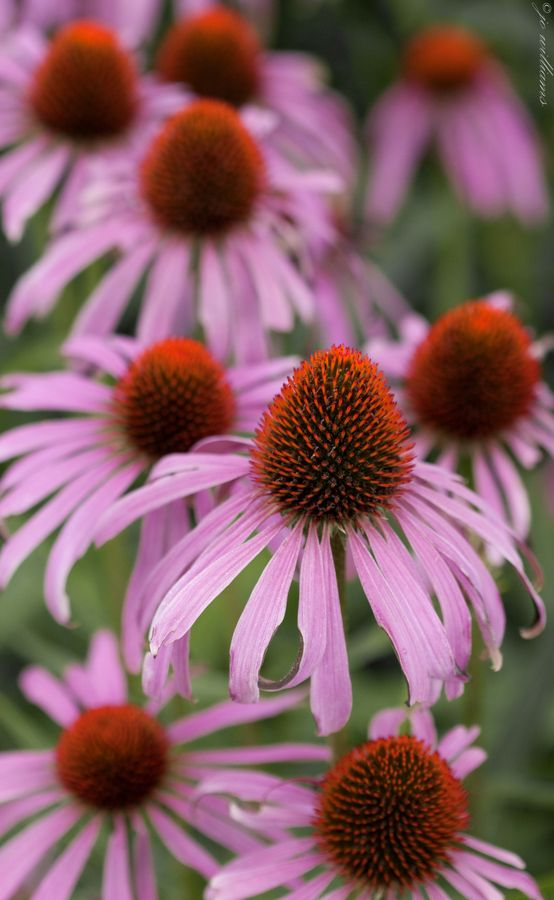 Coneflower (Echinacea) is a perennial flower that is low maintenance and grows well in sun to part shade areas. Collect the spent flowers and remove the seed to increase your flower power.
