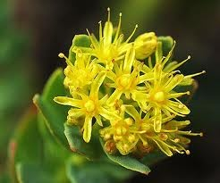Botanical Studied in Nicotine Withdrawal In this new study, researchers analyzed the effect of Rhodiola rosea extract on preventing nicotine dependence and decreasing nicotine withdrawal symptoms Read more: http://www.acuatlanta.net/botanical-studied-in-nicotine-withdrawal-a-568.html