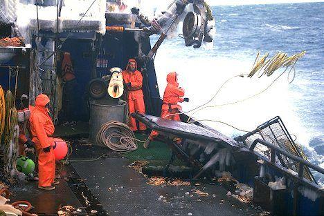 Picture of Bering SEA Opilio Crab Image.