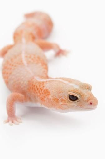 Amelanistic (albino) African Fat-tailed Gecko