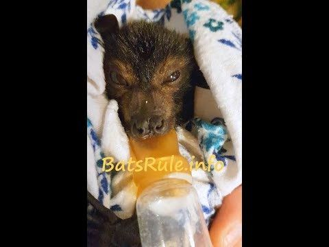 Rehab | bat babies orphaned rescued in care Megabat Flying-fox Fruit Bat