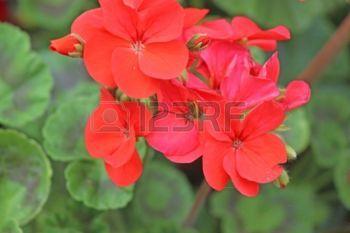 geranium flowers: geranios rojos Foto de archivo