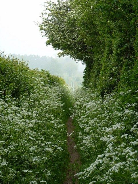 (Cow Parsley, England) - we have our own native species, pinned this for the cleared path...