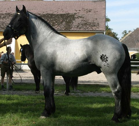 "Roan: Blue Roan.  Good example of a TRUE blue roan.  Note the Solid-colored head, legs, mane, and tail, and a *uniform* mixture of white and dark hairs over the body.  Grey horses are often called ""blue roan"" to increase value.  Greys will always have light smudges on the face and uneven/dappled/fleabitten body colors. I will take 2"