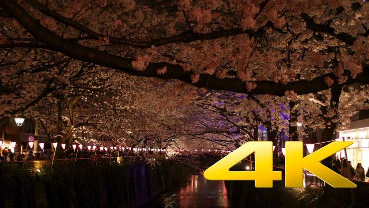 Tokyo Nakameguro Cherry Blossom by Night - 中目黒のさくら - 4K Ultra HD
