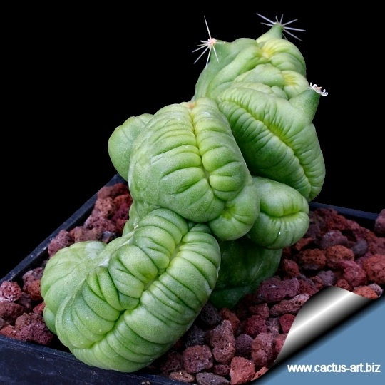 Mammillaria Bocasana. Looks like the fat caterpillar from A Bugs Life but its kind of still cool as hell.