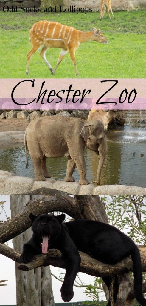 Chester Zoo - sharing my thoughts and photographs from our visit to Chester Zoo for my 30th birthday this week, - and can you guess what my daughers favourite animals was...