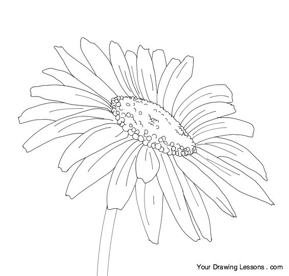 Daisy Flower Line Drawing : How to draw a daisy drawing sketching