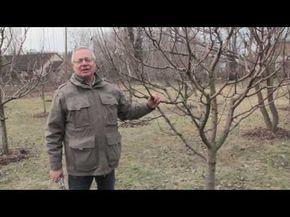 Hogyan fékezzük meg a túl magasra növő gyümölcsfát? (videó)