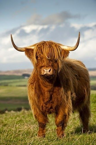 A handsome Highland cow