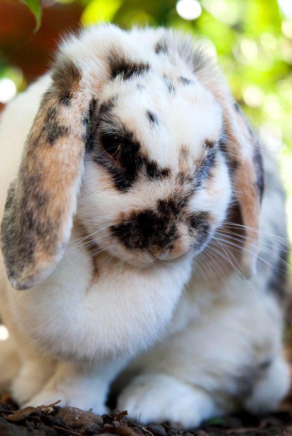 Tricolor Broken Mini Lop Rabbit (Broken means the colored fur is broken up by the white fur)