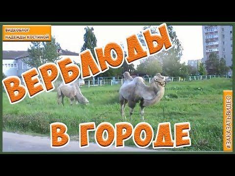 Корабль пустыни  в Российском городе. Верблюды пасутся в городе  Что бы ...