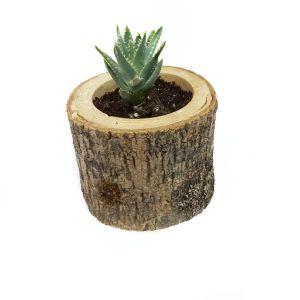 Aloe Aristata Succulent - Sukulent