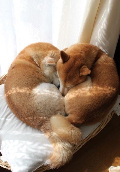 Due Shiba Inu rossi che si coccolano a vicenda... uno spettacolare esempio di amore e dolcezza! ~ re-pinned by doggiechecks.com dog breed stationery and gifts