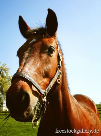 Pferdekopf - braunes Pferd