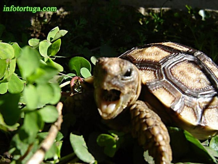¿Cómo debemos alimentar a las tortugas de tierra?