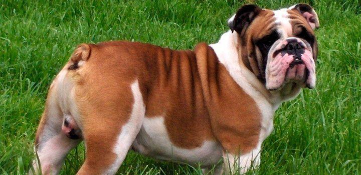 La raza de perros bulldog inglesa proviene de los perros de combate utilizados en la Edad Media contra los toros, aunque actualmente tenemos un perro increíblemente cariñoso, de carácter tranquilo, relajado y amable.