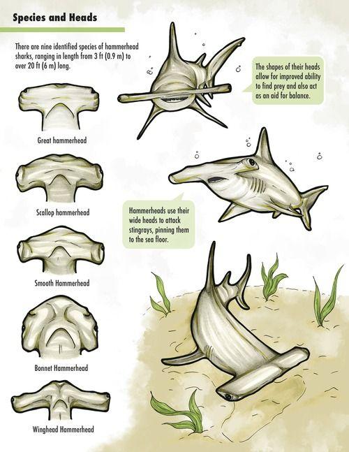 Hammerhead Shark head details