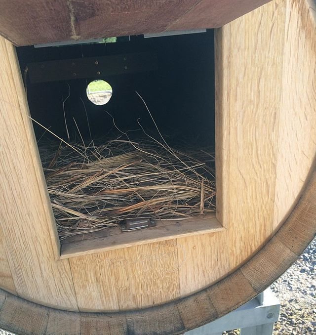Local birds have moved in to our mailbox at Mount Riley making it very difficult to get the mail in the morning! #mountriley #bird #nzwine