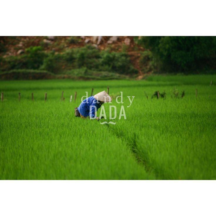 Rice Fields  #Sapa #Vietnam