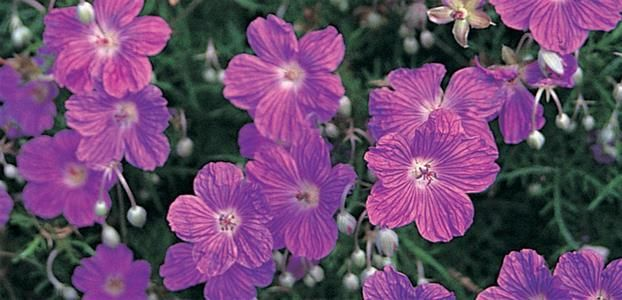 GERANIUM INCANUM - The Diggers Club