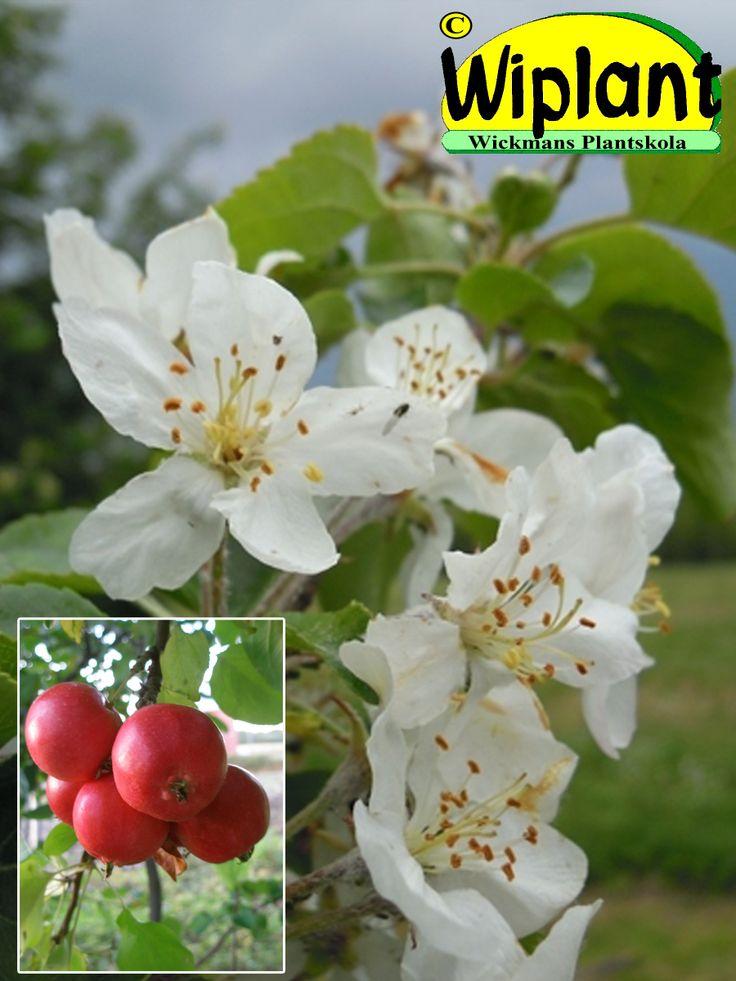 Malus 'Rescue', Prydnadsäppel. FinE-sort. Vita blommor, runda röda frukter, höjd 3-6 m.