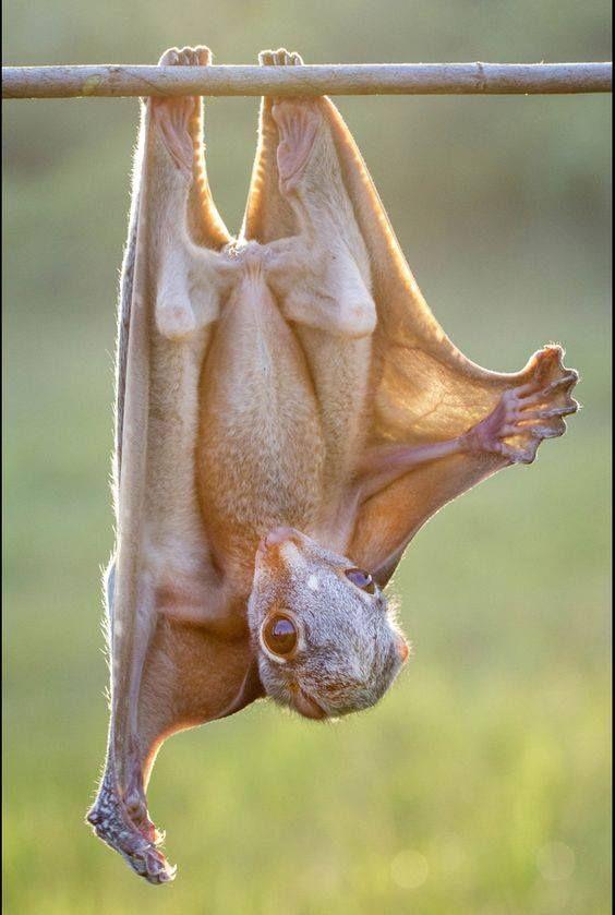 O LÊMURE SUNDA voando (Galeopterus variegatus), também conhecido como o LÊMUKRE VOADOR Malayan, Sunda colugo ou colugo Malayan, é uma espécie de colugo. Até recentemente, pensava-se ser uma das duas únicas espécies de lêmure voador, sendo o outro o lêmure voador Philippine que só é encontrado nas Filipinas. O lêmure voador Sunda é encontrado em todo o Sudeste Asiático, na Indonésia, Tailândia, Malásia e Singapura.