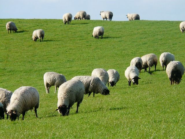 What Do Sheep Eat?