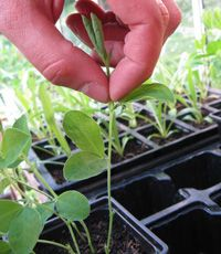 Encourage sweet pea plants to become bushier by pinching out the tips