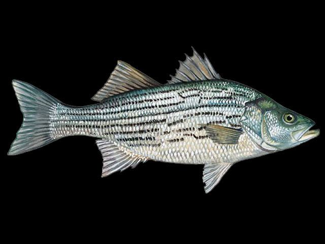 17 best images about fish lover on pinterest blue for Blue bass fish