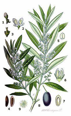 """""""Der #Olivenbaum (Olea europaea), auch Echter Ölbaum genannt, ist ein mittelgroßer, im Alter oft knorriger Baum aus der Gattung der Ölbäume (Olea), die zur Familie der Ölbaumgewächse (Oleaceae) gehört. Er wird seit dem 4. Jahrtausend v. Chr. als Nutzpflanze kultiviert."""""""