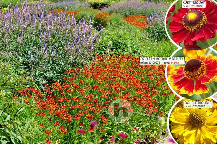 Dzielżan Mornheim Beauty Hellenium Hyzop - sklep ogrodniczy