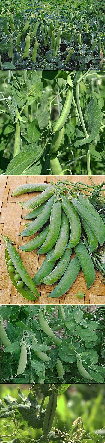 Φύτευση και η καλλιέργεια, οι ποικιλίες αρακά.  Μπιζέλια (Pisum λατ.) - Αυτο-επικονίασης ετήσιο ποώδες φυτό της οικογένειας των ψυχανθών.  Πατρίδα μπιζέλι - Νοτιοδυτική Ασία, όπου καλλιεργείται ήδη από τη Λίθινη Εποχή.  Μπιζέλια άνεμοι ποώδη στελέχη της να φθάσει σε μήκος μέχρι 250 εκ. Μίσχοι τελειώνει με μουστάκι, ο οποίος, κρεμασμένα στην υποστήριξη, να κρατήσει το φυτό σε όρθια θέση.