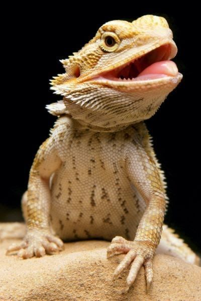 beardie sticking out his tongue