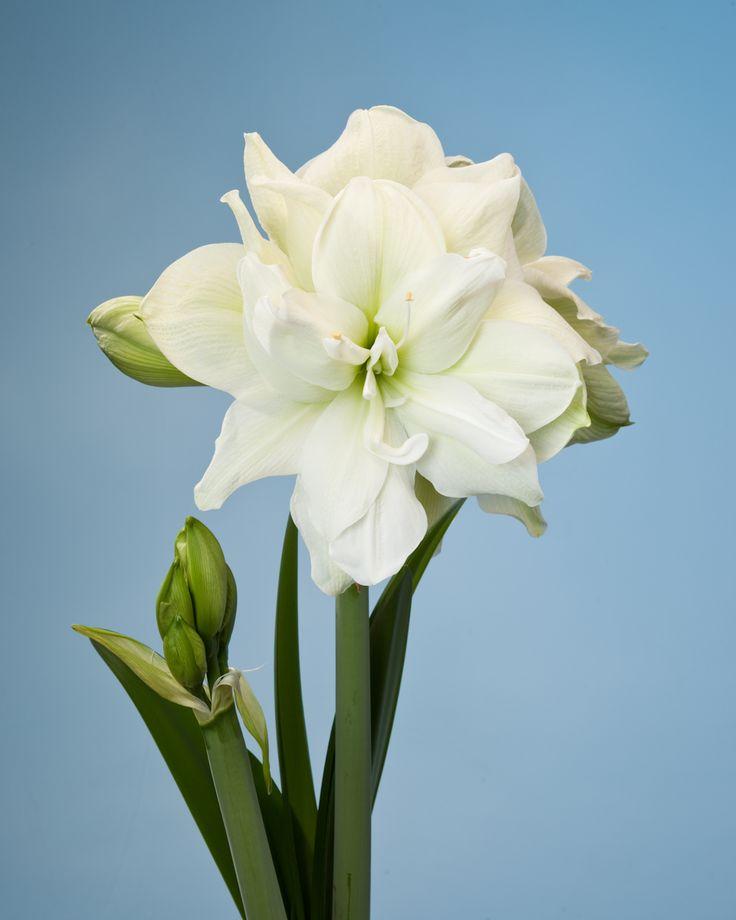 17 best images about hippeastrum  amaryllis  varieties on pinterest
