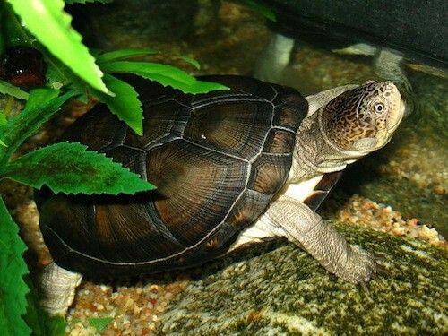African sideneck turtle