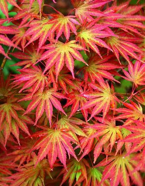 Acer shirasawanum 'Sensu' (Dwarf Full Moon) ... doesn't take up as much room as a full-sized Full Moon maple, perfect for a small space. did I mention it's gorge?