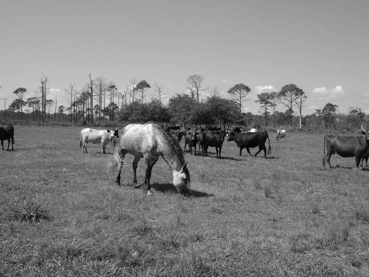 Florida Cracker Horse & Cattle, Lake Kissimmee State Park