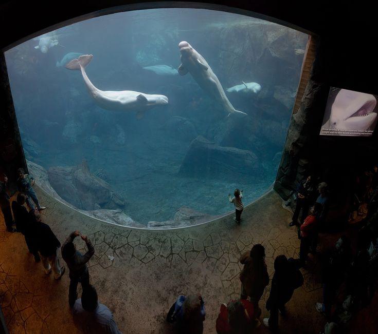 Cinq bélugas à l aquarium de la Géorgie, aux États Unis. Un aquarium marin accueille les poissons des océans, par oppositions aux aquariums classiques d eau douce destinés a heberger les poissons issus des