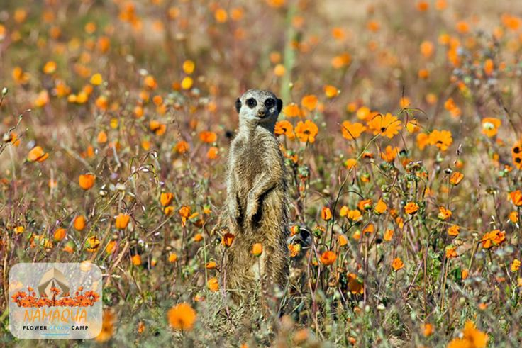 Namaqua Flower Beach Camp - Meerkat
