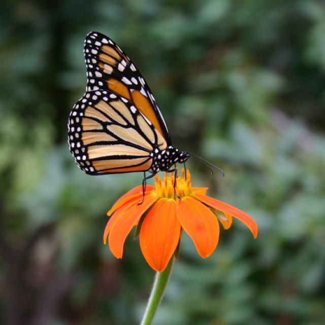 What Do Monarch Butterflies Eat?: An adult monarch butterfly drinking nectar from a tithonia flower.