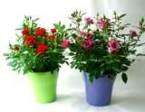 Sunshine coloured melamine pots with stunning flowering miniature roses  just perfect as a colourful centerpiece! www.summerhillnurseries.com.au