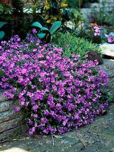 L'aubriete en pratique. Une plante vivace facile à vivre; des fleurs en cascade pour une balconnière, une rocaille ou un massif fleuri.
