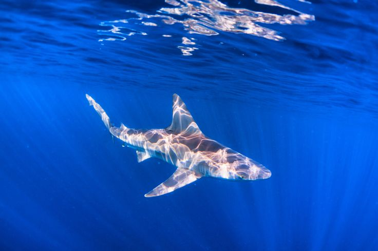 Natures Light Painting - A Sandbar shark with early morning light painting from above