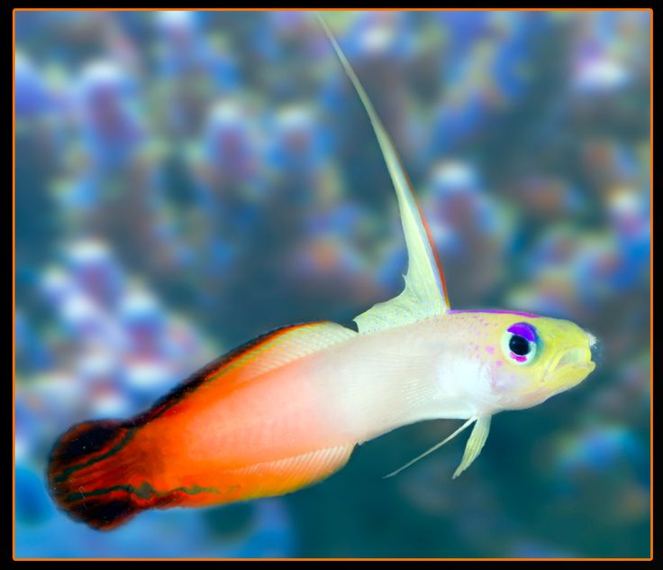 17 best images about saltwater fish tank on pinterest for Fish on fire